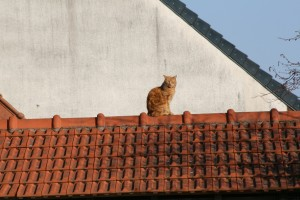 chat-roux-sur-toit-038-300x200